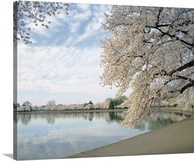 Cherry Blossom trees around the tidal basin, Washington DC