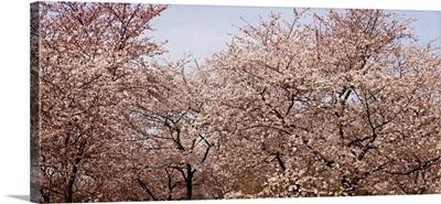 Cherry Blossom trees in Potomac Park at the Tidal Basin, Washington DC