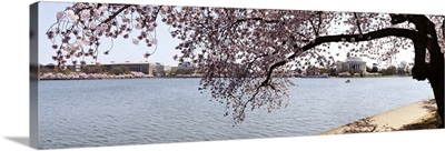 Cherry Blossom trees with the Jefferson Memorial in the background, Washington DC