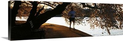 Cherry Blossoms and morning jogger at the riverbank Tidal Basin Potomac River Washington DC