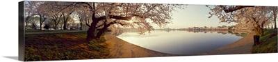 Cherry blossoms at a lakeside, Tidal Basin, Washington DC