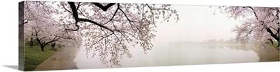 Cherry blossoms at the lakeside, Washington DC,