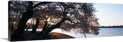 Cherry Blossoms at the riverbank at sunrise Tidal Basin Potomac River Washington DC