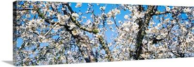 Cherry Blossoms CA