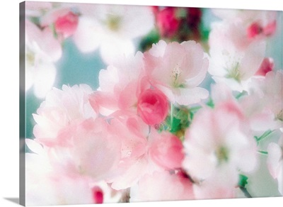 Cherry blossoms, close up view