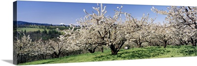 Cherry Orchard OR