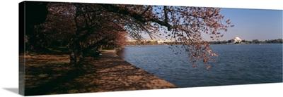 Cherry tree at the riverside, Potomac River, Jefferson Memorial, Washington DC
