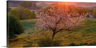 Cherry tree in bloom Broesarp Sweden