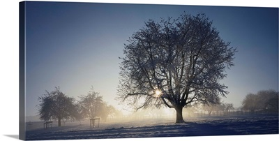 Cherry tree on a snow covered landscape, Aargau, Switzerland