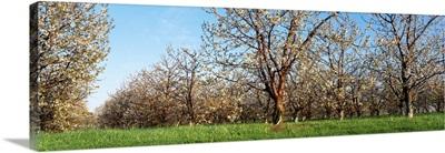 Cherry Tree Orchard MI