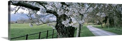 Cherry Trees and Path Killaney Ireland