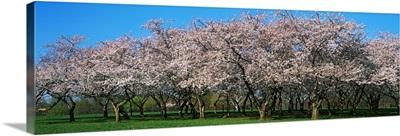 Cherry Trees DC