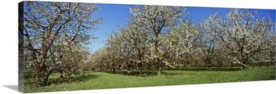 Cherry trees in an orchard, Leelanau Peninsula, Michigan