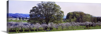 Cherry trees in an Orchard, Michigan