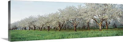 Cherry trees in an orchard, Mission Peninsula, Traverse City, Michigan