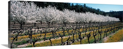 Cherry trees in an orchard, Provence-Alpes-Cote d'Azur, France
