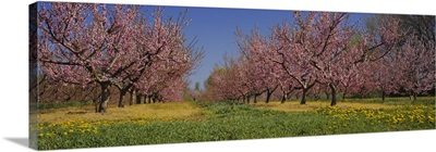 Cherry trees in an orchard, South Haven, Michigan