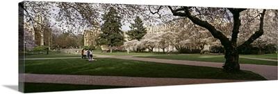 Cherry trees in the quad of a university, University of Washington, Seattle, King County, Washington State