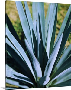 Close Up Of A Blue Agave Agave Tequilana Plant Mexico