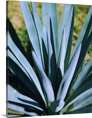 Close-up of a Blue agave (Agave Tequilana) plant, Mexico