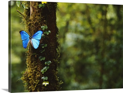 Close-up of a Blue Morpho butterfly (Morpho menelaus) on a tree, Monteverde Cloud Forest Reserve, Puntarenas, Costa Rica