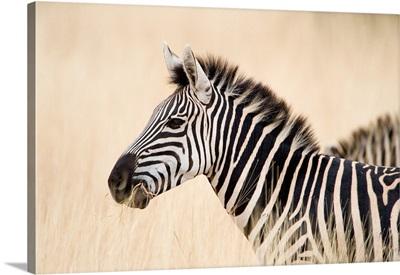 Close-up of a Burchell's zebra, Ngorongoro Crater, Ngorongoro, Tanzania