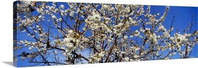 Close-up of a Cherry Blossom tree, Michigan