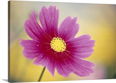 Close up of a cosmos flower