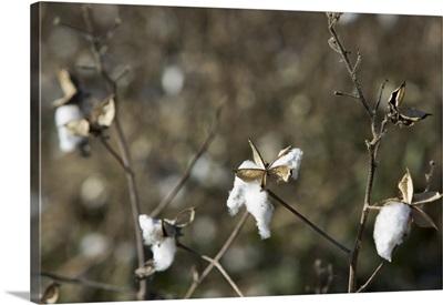 Close-up of a cotton plant, Mississippi Delta, Avalon, Mississippi