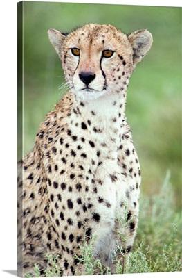 Close-up of a female cheetah in a forest, Ndutu, Ngorongoro, Tanzania
