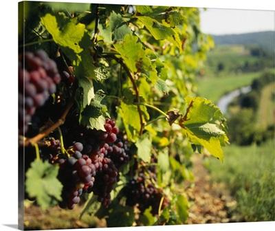 Close-up of a grape vine in a vineyard, Muhlhausen, Vaihingen An Der Enz, Baden-Wurttemberg, Germany