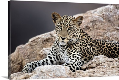 Close-up of a leopard lying on a rock