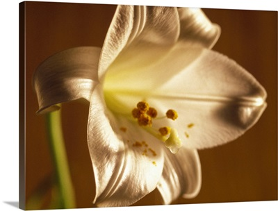 Close up of a lily flower