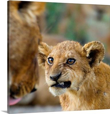 Close-up of a lion cub, Ngorongoro Conservation Area, Arusha Region, Tanzania (Panthera leo)