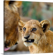 Close-up of a lion cub, Ngorongoro Conservation Area, Arusha Region, Tanzania (Panthera leo)