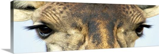 Close-up of a Masai giraffes eyes