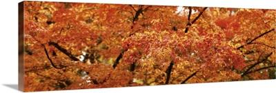 Close-up of a Maple tree, Oregon