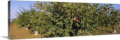 Close-up of a plum tree in an orchard, Gilroy, California