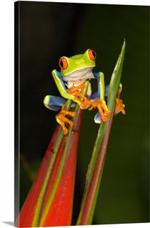 Close up of a Red Eyed Tree frog (Agalychnis callidryas) sitting on a Heliconia flower, Costa Rica
