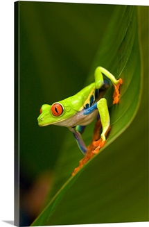 Close up of a Red Eyed Tree frog (Agalychnis callidryas) sitting on a leaf, Costa Rica