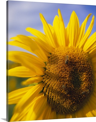 Close-up of a Sunflower (Helianthus annuus), Baden-Wurttemberg, Germany