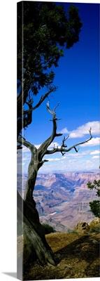 Close-up of a tree at the edge of a canyon, Grand Canyon National Park, Arizona
