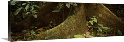 Close-up of a tree root, Carara National Park, Costa Rica
