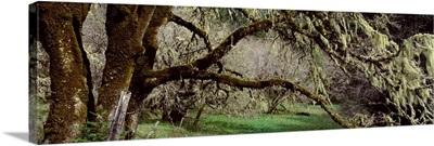Close-up of an oak tree, Humboldt County, California