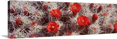 Close-up of cactus flowers, Joshua Tree National Monument, California