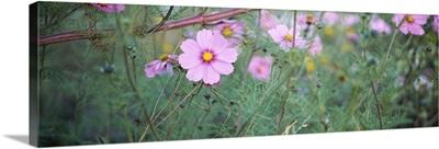 Close-up of Cosmos (Cosmos bipinnatus) flowers, Weinsberg, Baden-Wurttemberg, Germany