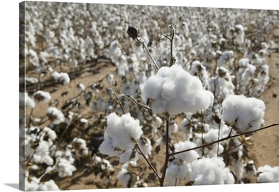 Close-up of cotton plants in a field, Wellington, Texas