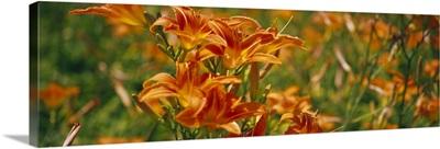 Close-up of Day Lilies (Hemerocallis), Illinois