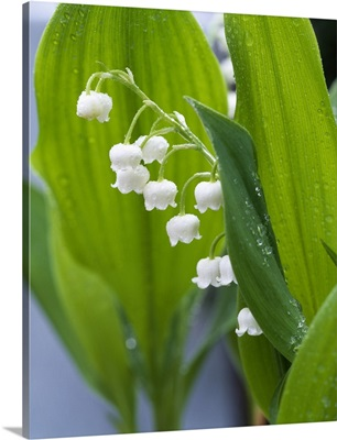 Close-up of dew drops on Lily-Of-The-Valley (Convallaria majalis), Anacortes, Washington State