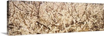 Close up of flowering cherry tree